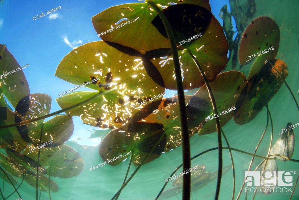 Imagen: Underwater view of water lilies in a lake of France.