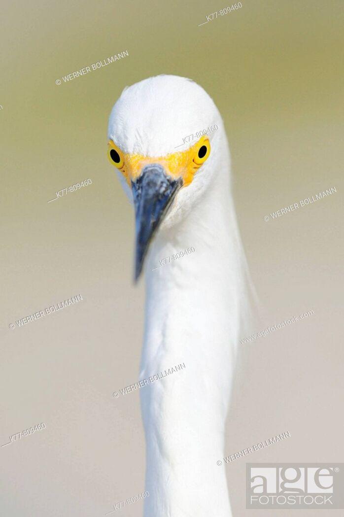 Stock Photo: Snowy Egret (Egretta thula), portrait. Florida, USA.