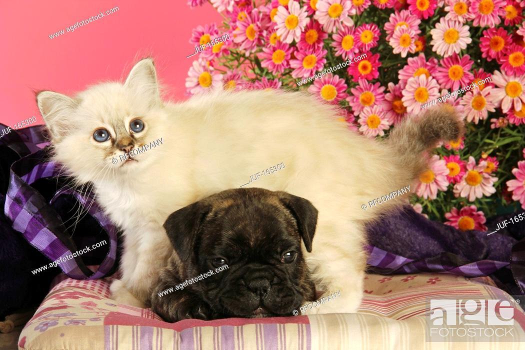 Imagen: animal friendship : French Bulldog puppy and Sacred cat of Burma kitten.