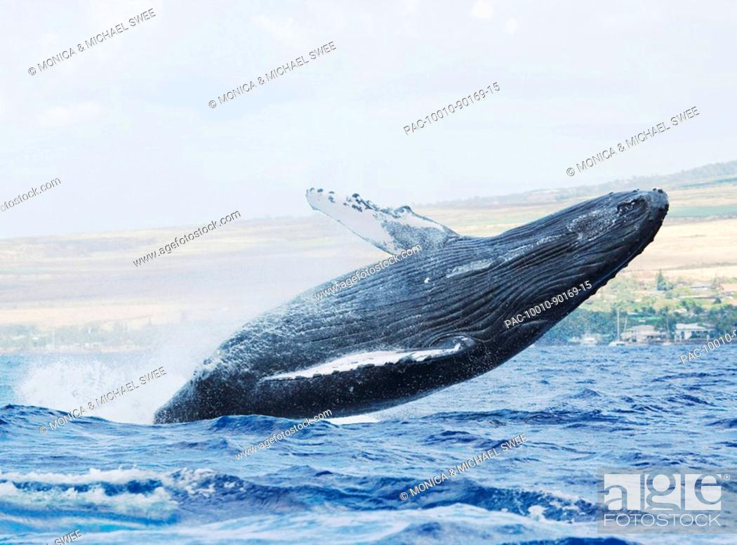 Stock Photo: Hawaii, Maui, Humpback whale breaching with island in the background.