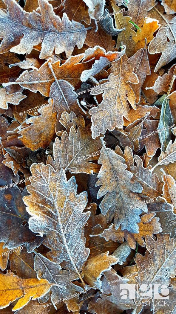 Stock Photo: Sessile oak (Quercus petraea, Quercus sessilis), oak leaves with hoarfrost on the ground, Germany.