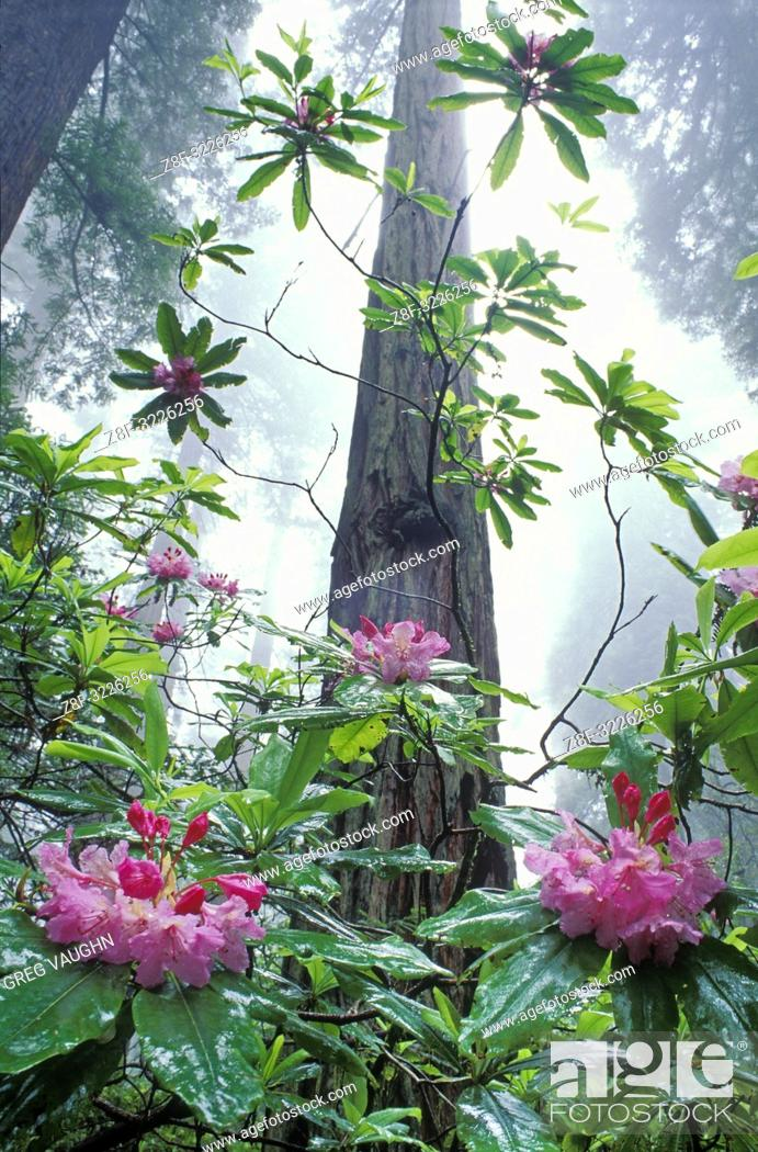 Imagen: Rhododendron and Redwood trees; Damnation Creek Trail, Del Norte Redwoods State Park, California.