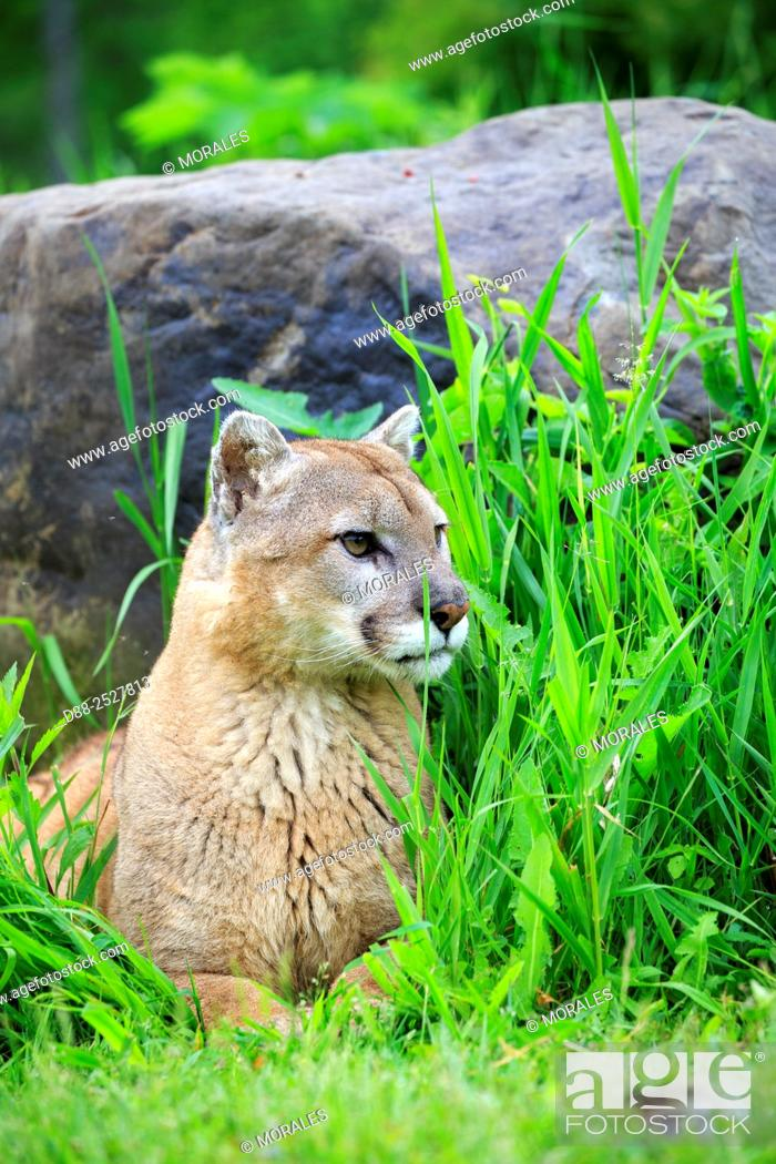 Stock Photo: United States, Minnesota, Cougar Puma concolor, also known as the mountain lion, .