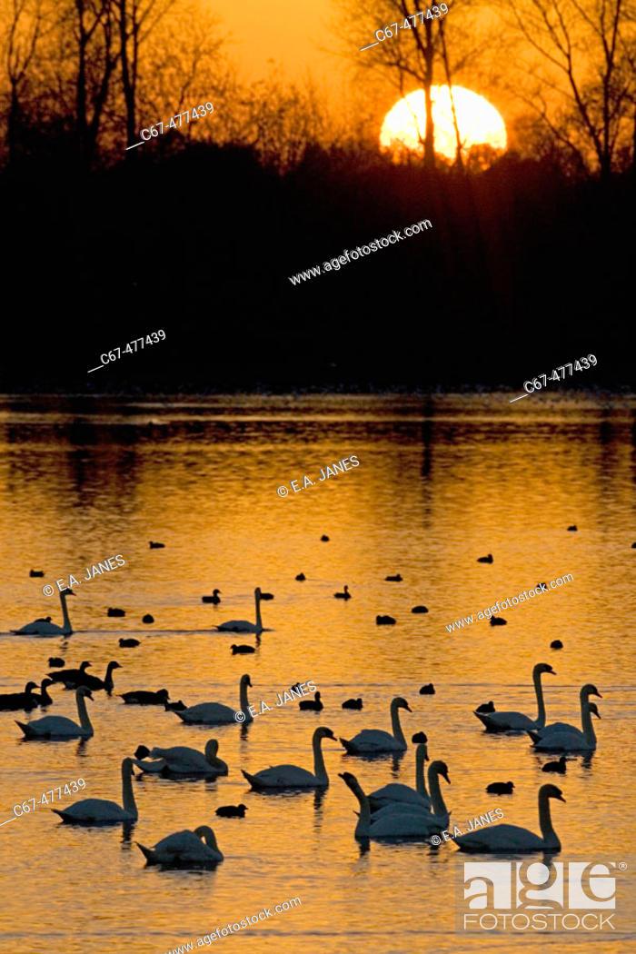 Stock Photo: Mute Swans (Cygnus olor), sunset.