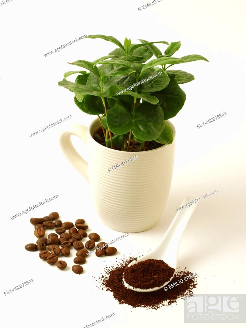 Stock Photo: Coffee plant and seeds.