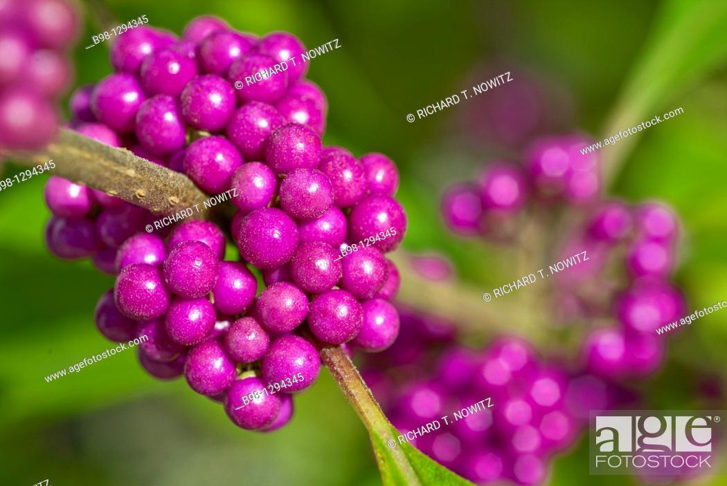 Stock Photo: Callicarpa giraldii 'Profusion' also called the beauty bush.