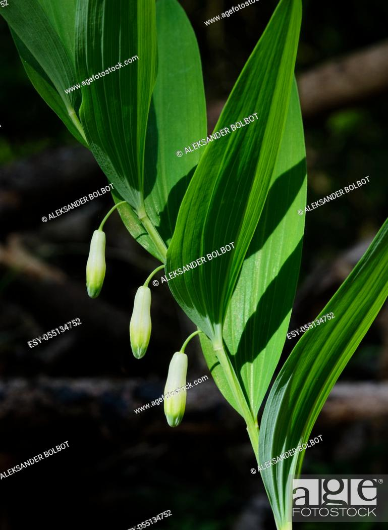 Stock Photo: Solomon Seal(Polygonatum odoratum) flowering in spring close-up with dark background, Bialowieza Forest, Poland, Europe.