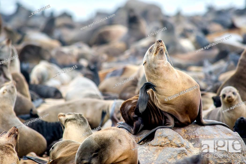 Stock Photo: Cape Cross, Namibia, Africa - Cape Fur Seals (pinnipedia) on the Seal reserve of the Skeleton Coast.