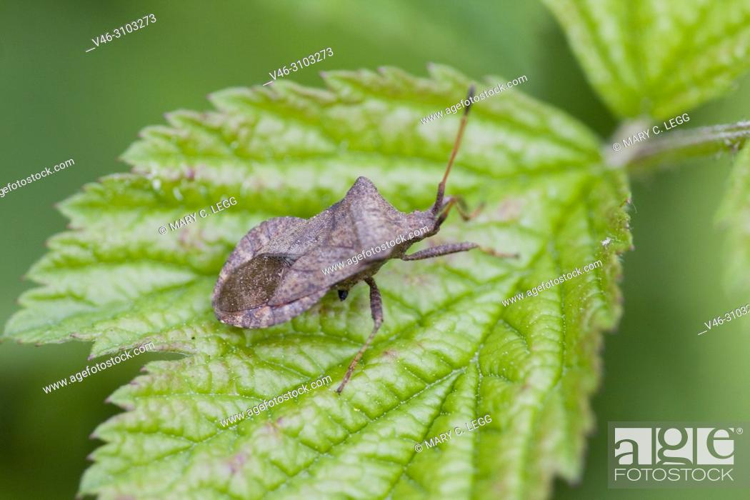 Stock Photo: Dock Bug, Coreus marginatus feeds on docks and sorrels. Eurasian insect with five nymphal instars. Herbivorous and may feed on raspberry.