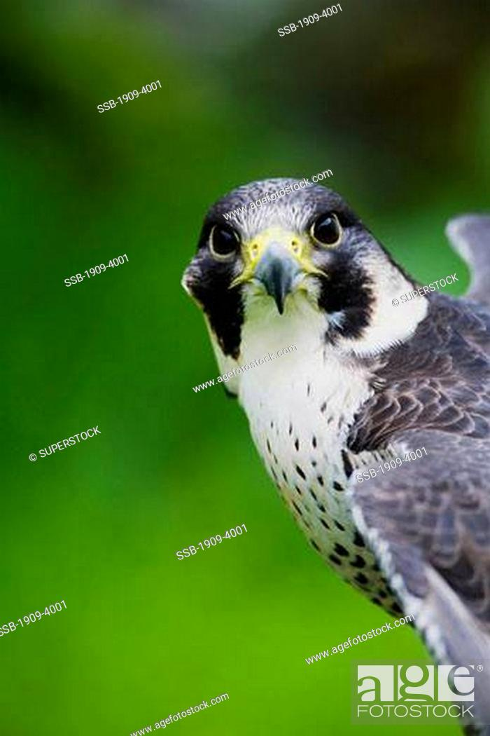 Stock Photo: Peregrine Falcon Falco Peregrinus UK injured bird living in sanctuary at Wings Over Mull Scotland UK United Kingdom GB Great Britain British Isles Europe EU.
