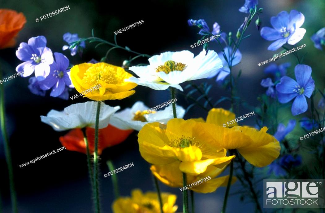 Stock Photo: blue, Bernhard, blossom, blooms, bloom, abloom.
