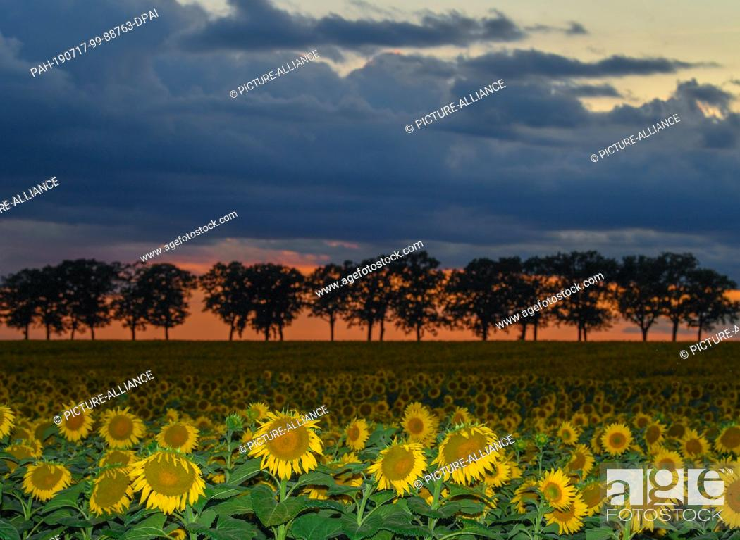 Stock Photo: 16 July 2019, Brandenburg, Sieversdorf: Shortly after sunset, dark clouds move across an avenue and a sunflower field in the Oder-Spree district.