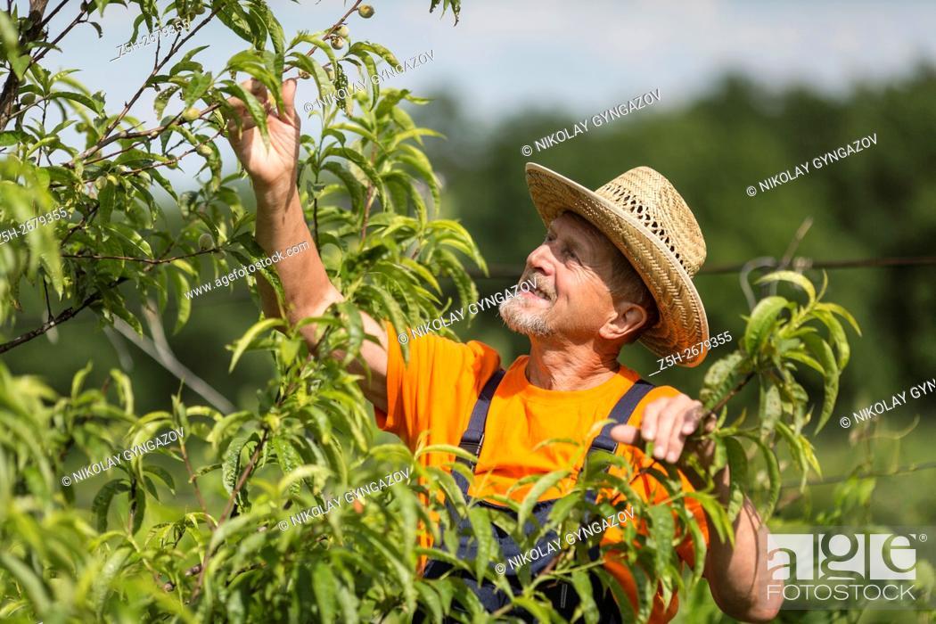 Stock Photo: Russia. Belgorod region. Elderly man working in the garden. Grape Processing.