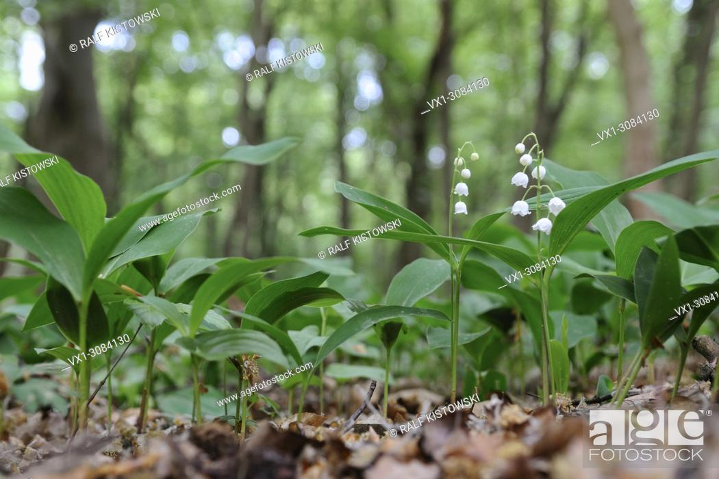 Stock Photo: Lilies of the Valley ( Convallaria majalis ) blossoming in a natural forest, Europe.