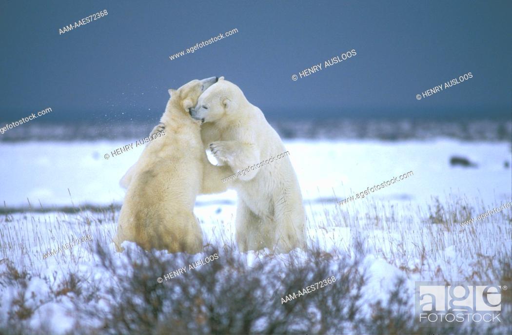 Stock Photo: Polar Bear Fighting, Canada - Ours Blanc - Combat - (Ursus maritimus).
