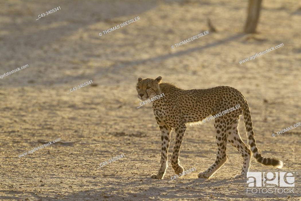 Stock Photo: Cheetah (Acinonyx jubatus). Subadult male. Roaming in the dry and barren Auob riverbed during a severe drouight. Kalahari Desert, Kgalagadi Transfrontier Park.