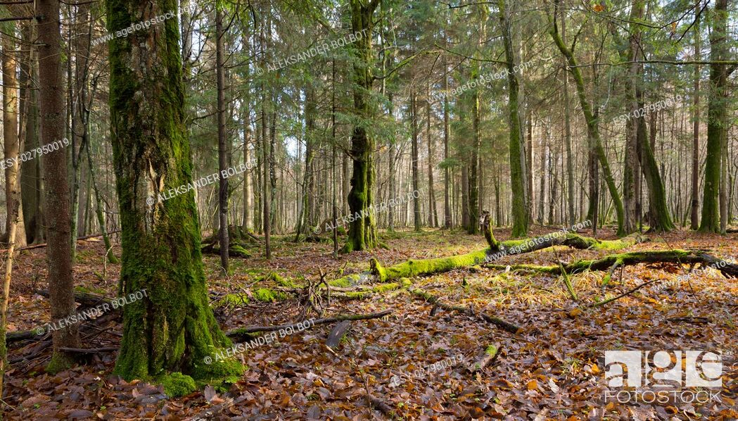 Stock Photo: Dead hornbeam lying moss wrapped among deciduous trees in autumn, Bialowieza Forest, Poland, Europe.