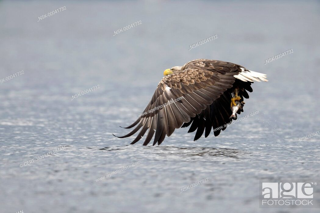 Stock Photo: White-tailed Eagle (Haliaeetus albicilla) flying above water with fish in its claw, Poland, Stepnica, Oderdelta.