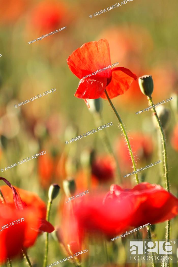 Stock Photo: Poppies in Bardenas Reales, Navarre, Spain.