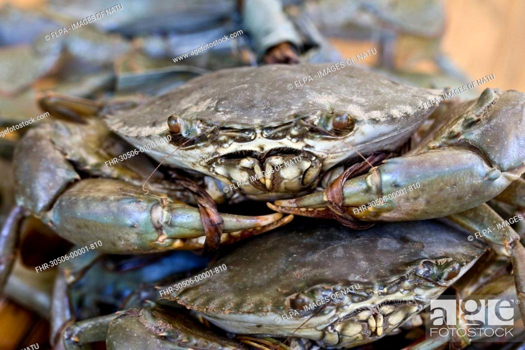 Serrated Swimming Crab Scylla serrata adults, with claws tied-up