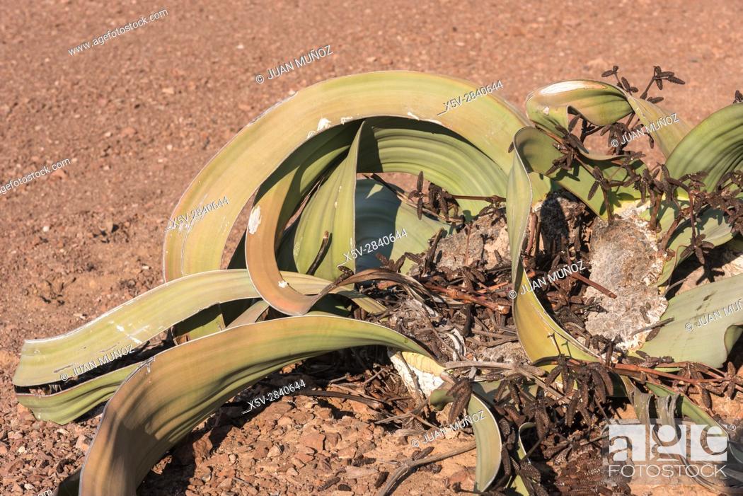 Stock Photo: Welwitschia mirabilis. The Namib Desert. Namibia.