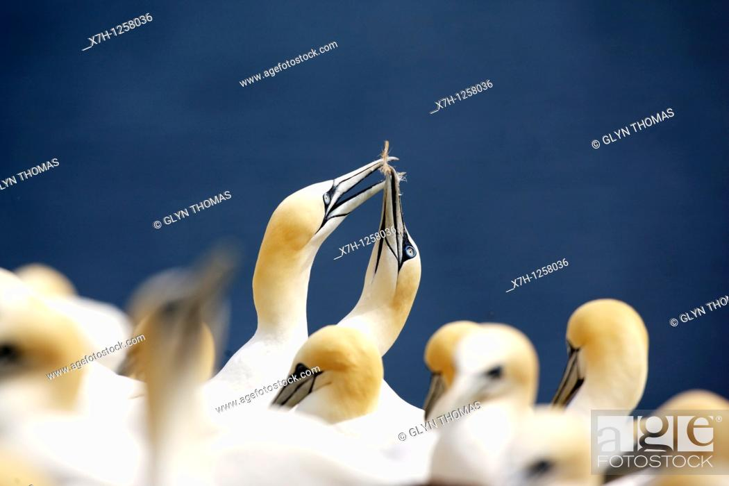 Stock Photo: Gannets on Bass Rock.