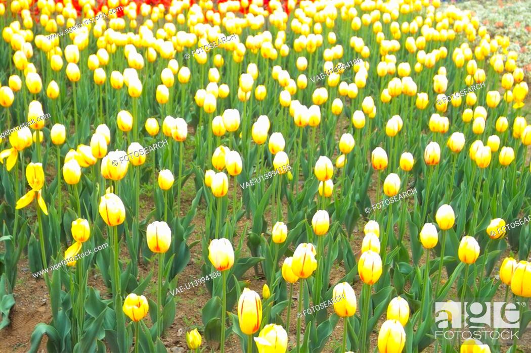 Stock Photo: flowergarden, flower, yellowtulip, yellow, spring, carpet, tulip.