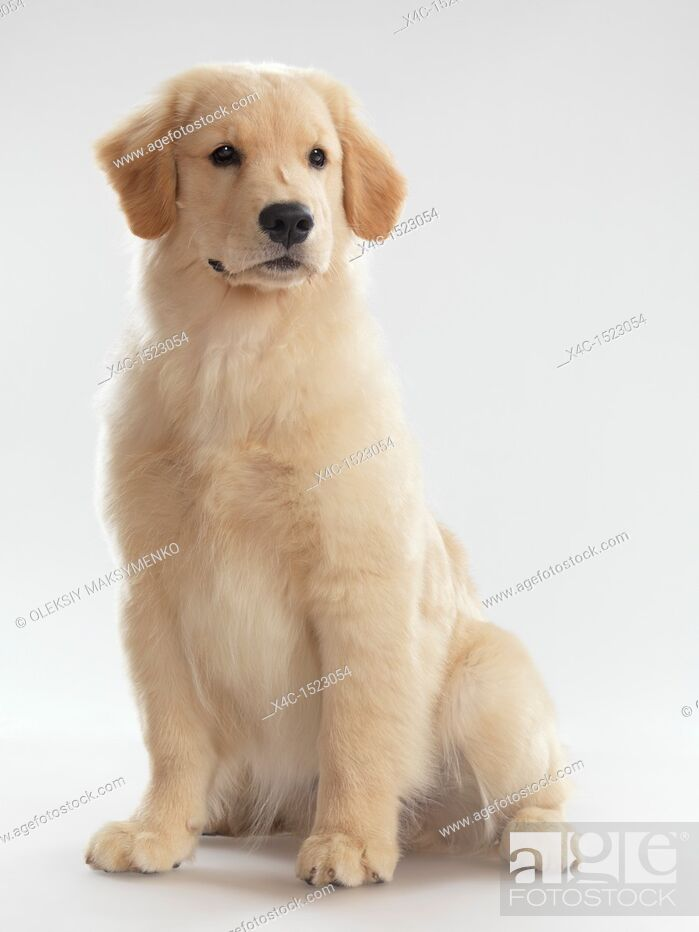 Stock Photo: Portrait of a Golden Retriever 4 month old puppy isolated on white background.