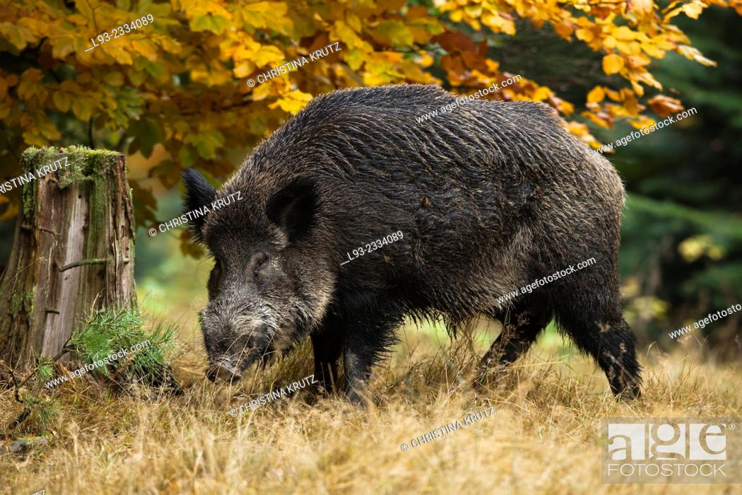Stock Photo: Wild Boar, Sus scrofa, Germany.