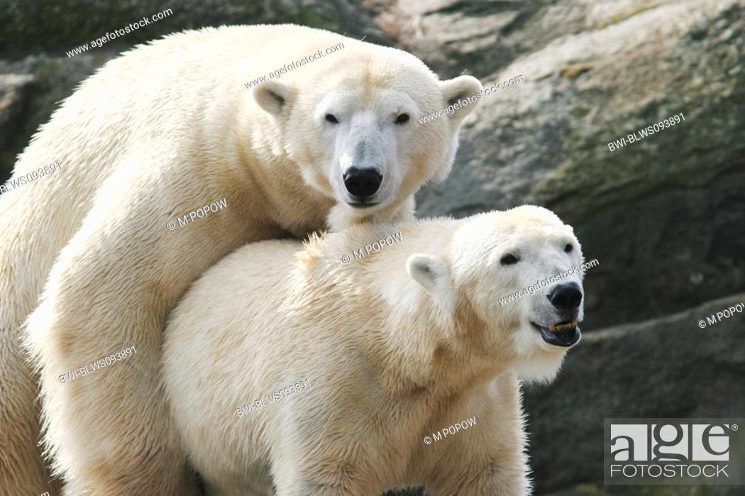 Polar bear sexuality