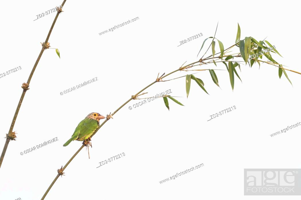Stock Photo: Lineated Barbet (Megalaima lineata) perched on a bamboo. Nepal.