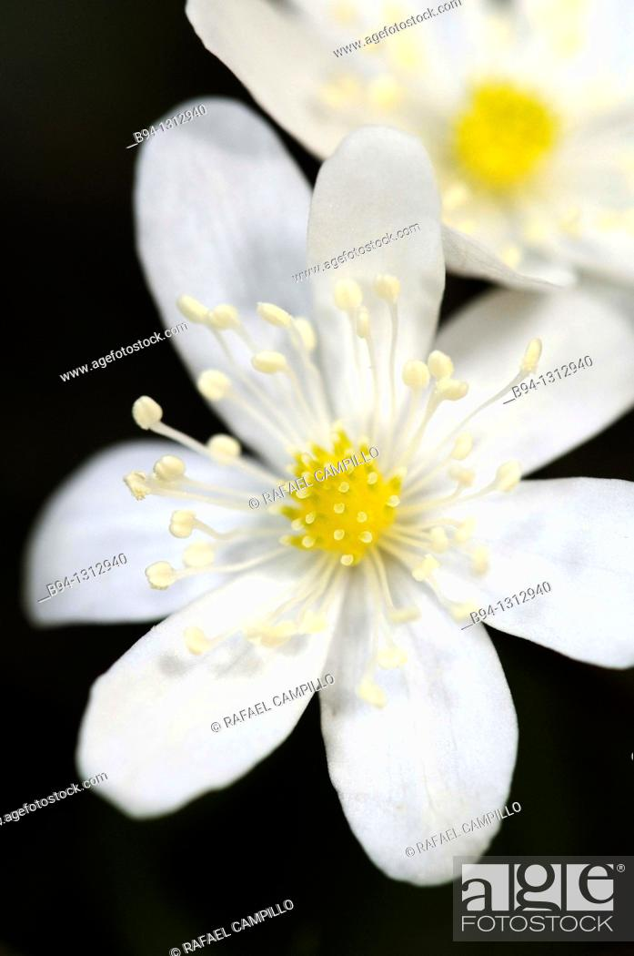 Stock Photo: Flowers of Hepatica sp., Liverleaf or Liverwort. Fam. Ranunculaceae. Osseja. Languedoc Roussillon. Pyrénées Orientales. France.