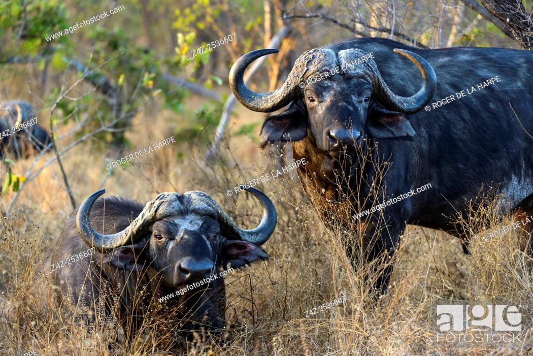 Imagen: African buffalo, also know as Cape Buffalo (Syncerus caffer). Kruger National Park. Mpumalanga. South Africa.