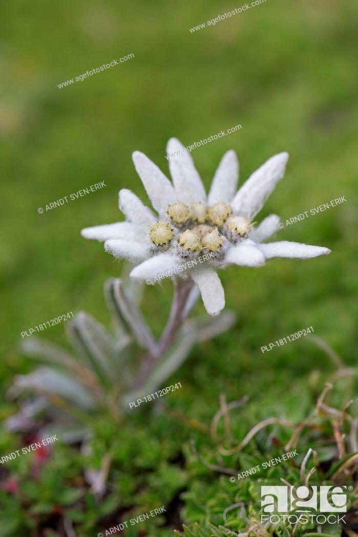 Imagen: Edelweiss (Leontopodium nivale) flower in summer, native to the Alps, Pyrenees, Jura, Carpathian Mountains, Balkan mountain range and Apennines.