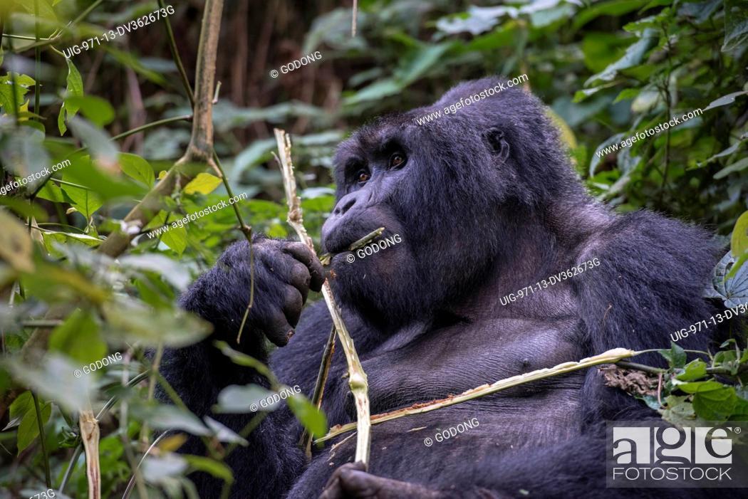 Stock Photo: Uganda, Bwindi Impenetrable National Park, Bwindi Impenetrable Forest, mountain gorilla. (Gorila beringei beringei),.