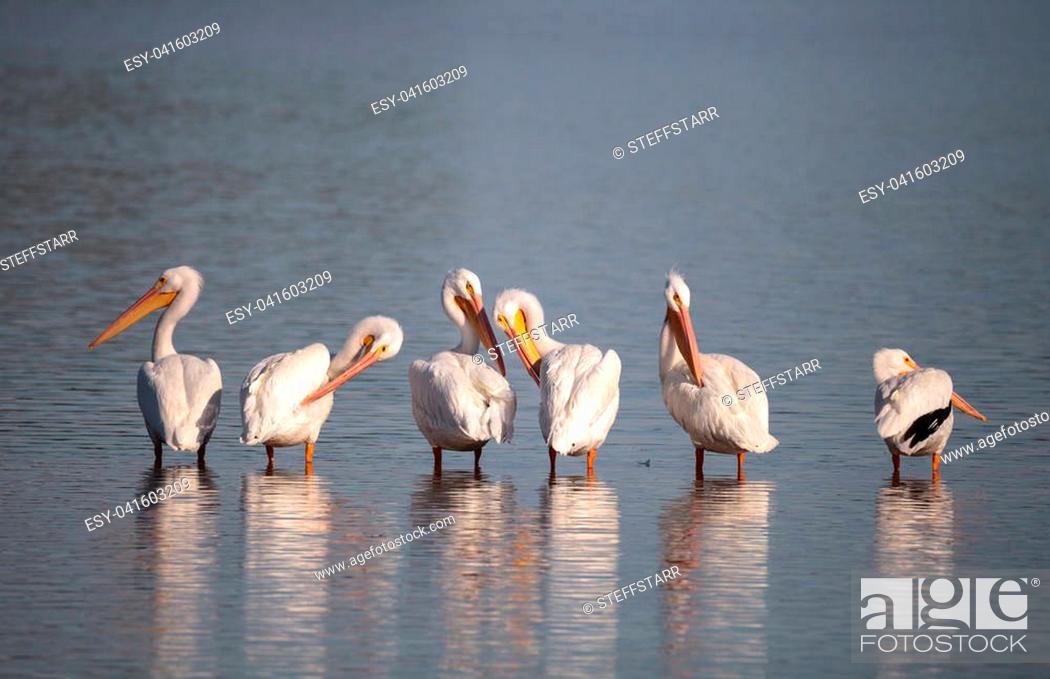 Stock Photo: American white pelican Pelecanus erythrorhynchos in a marsh on Sanibel Island, Florida.