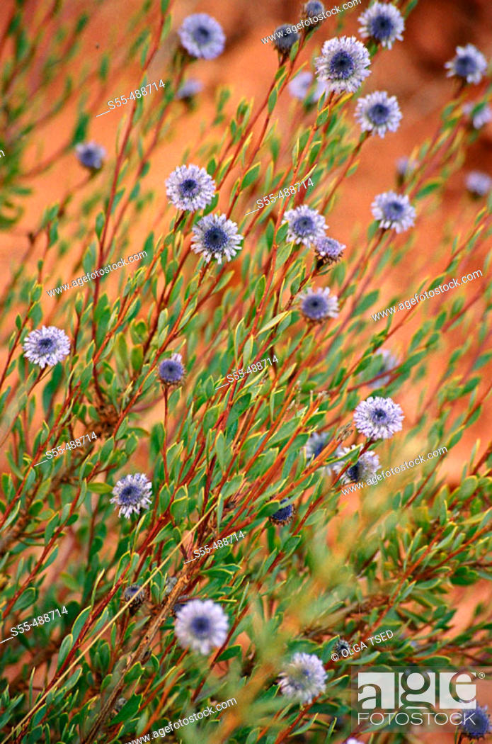 Photo de stock: Perennial bushy plant of the globularia family - globulariaceae - up to 60 cm. Stems erect and ligneous. Leaves short-stalked, lanceolate ending in a spine.