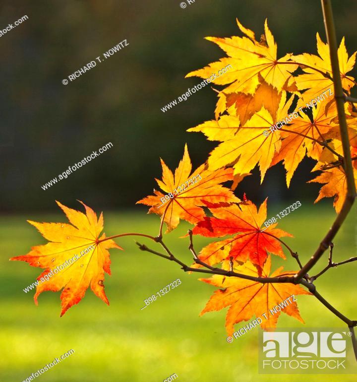Stock Photo: Japanese maple trees back lit at Maryland.