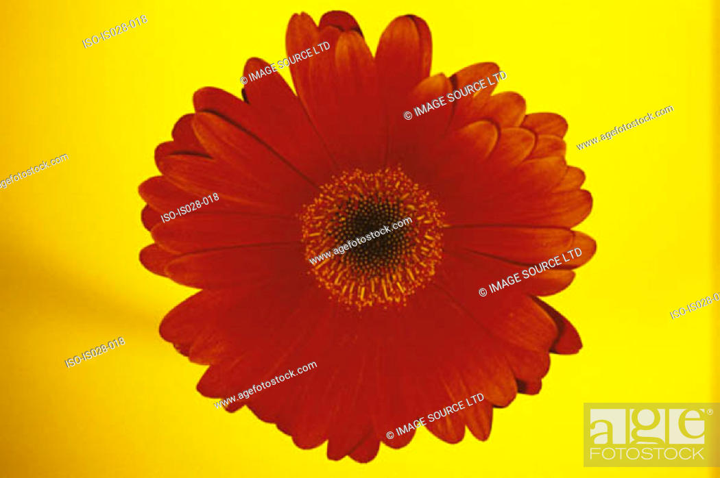 Stock Photo: Red flower.