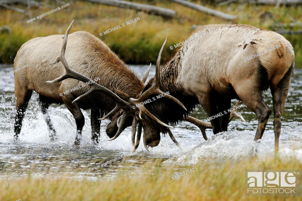 Stock Photo: Bull Elk Cervus elaphus locked in an antler-to-antler fight during mating season in the Madison River, Yellowstone National Park, Wyoming, USA.