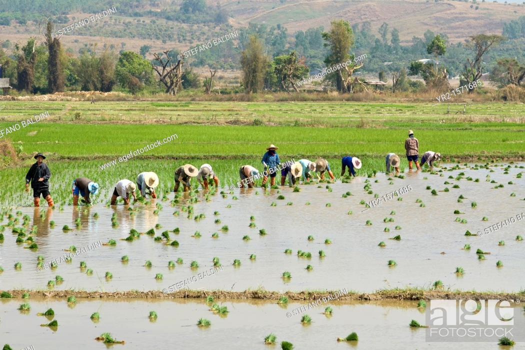 Imagen: Farmers planting rice in a paddy field near Chiang Mai, Thailand.