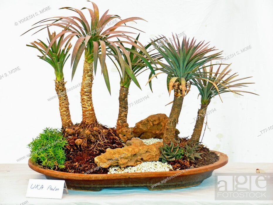 Stock Photo: Yucca UKA palm bonsai.