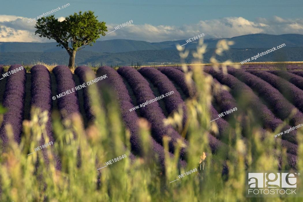 Stock Photo: Lavender fields on Valensole Plain of Provence region of Southern France.