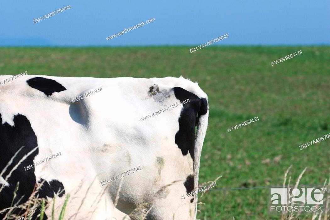 Stock Photo: Tail end of cow in pasture.