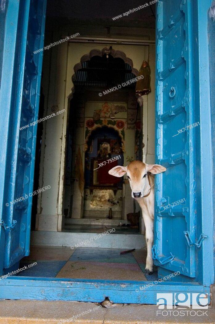 Stock Photo: Calf in a little Hindu temple, Jodhpur, India.