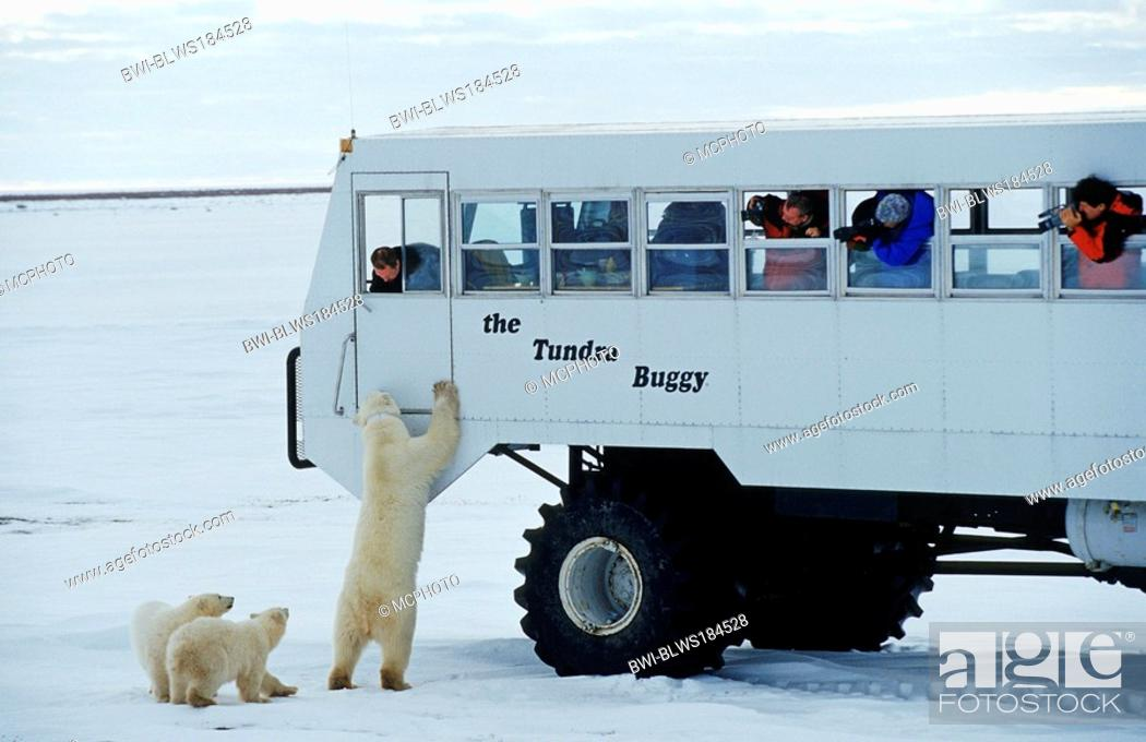 Stock Photo: polar bear Ursus maritimus, standing erect with cubs at expedition bus with photographers, Canada, Manitoba, Hudson Bay, Churchill.