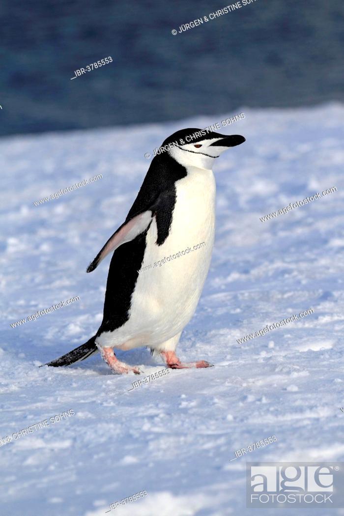 Imagen: Chinstrap Penguin (Pygoscelis antarctica), adult, spreading wings, Brown Bluff, Antarctica.