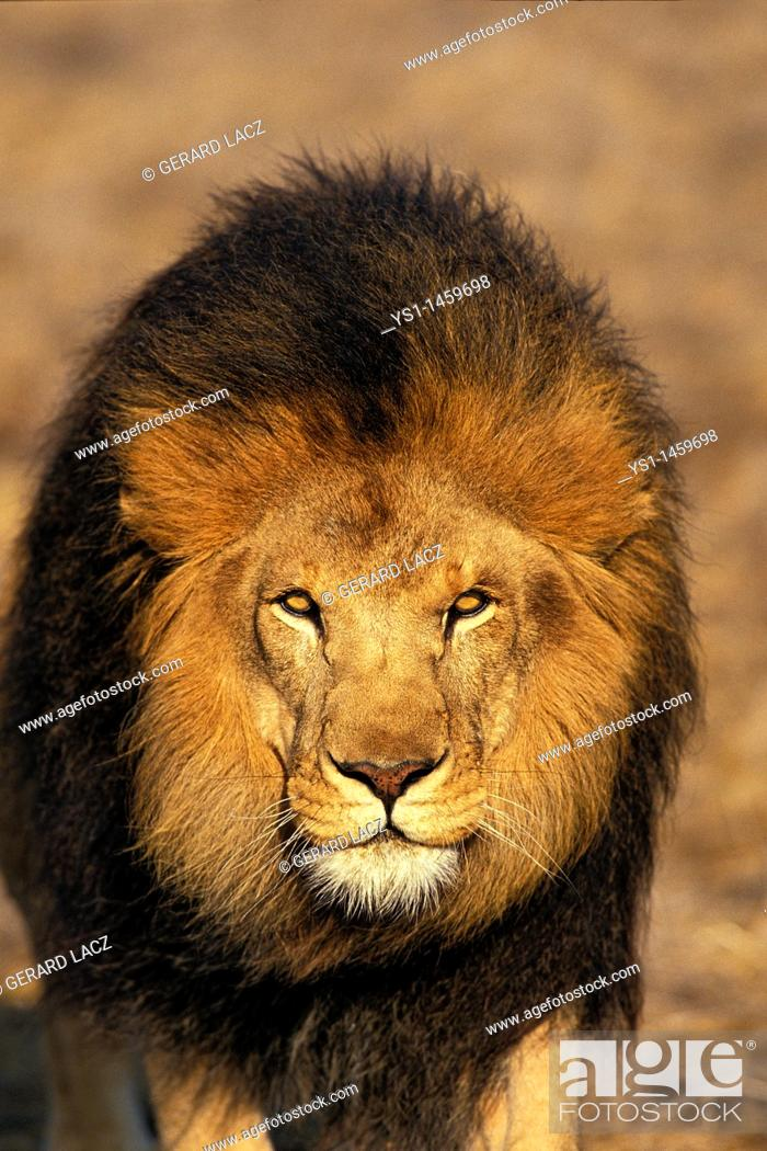 Stock Photo: AFRICAN LION panthera leo, PORTRAIT OF MALE.
