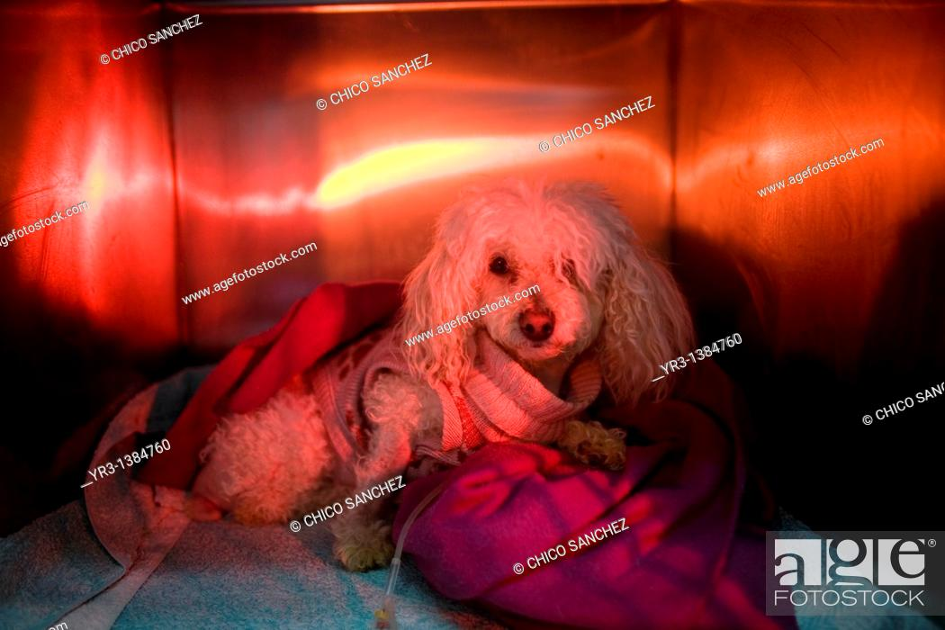 Stock Photo: A Poodle dog is warmed using a red lamp as he recovers from an illness at a Pet Hospital in Condesa, Mexico City, Mexico, February 4, 2011.