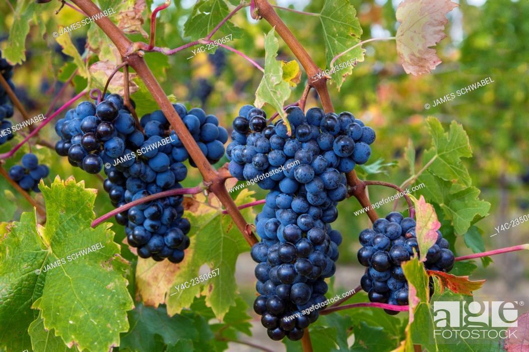 Stock Photo: Bunches of wine grapes on vines ripe for picking in vineyard in the Finger Lakes Region of New York State.